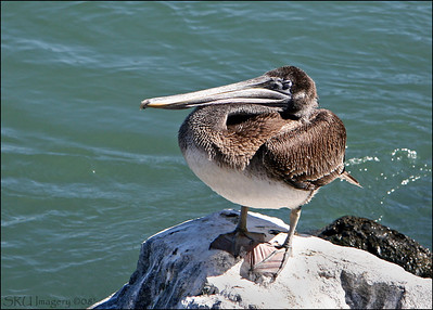Pelican Napping