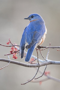 #1576 Eastern Bluebird