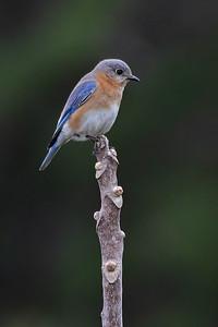 #1589 Bluebird
