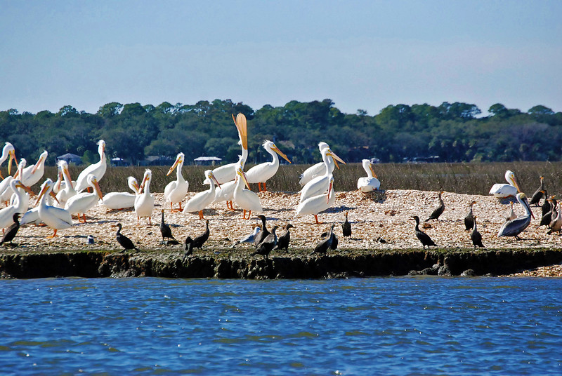 A flock of White Pelicans wintering in sunny Florida as one bird takes a gulp