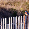Jan !3<br /> Blue Birdie<br /> <br /> A plump little blue bird sits on a fence, basking in the evening sun.