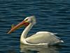 American White Pelican, <em>Pelecanus erythrorhynchos</em> Quarry Lakes, Alameda Co., CA  3/7/12