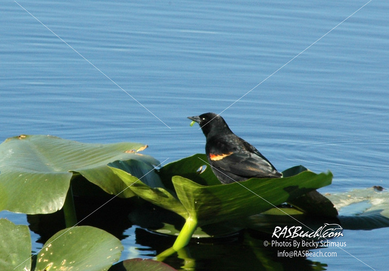 Redwing Blackbird_092