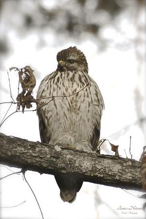 "Red Tailed Hawk ""Buteo jamaocensis"""