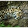 Amur Leopard at LP Zoo