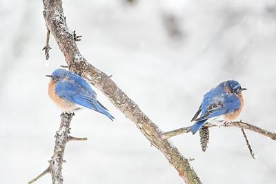 #532 Eastern Bluebirds