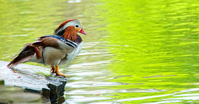 """Apr 29<br /> Contemplating life<br /> <br /> A freshly preened mandarin duck sits on the edge of a pond, awaiting the answer to a question passed down through many generations of ducks...""""Does anyone have food!""""<br /> <br /> Have a great week everyone!!"""