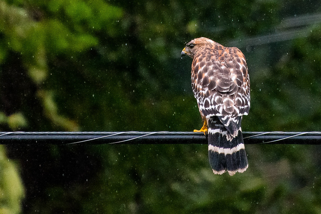 Red Shoulder Hawk in the Rain