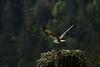 _MG_7996 osprey takeoff  © bob wilson 2010