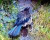 SCRUB JAY  BATHING  2 Aphelocoma coerulescens 100B3941