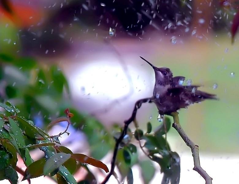 BLACKCHINNED HUMMINGBIRD imm male D80 150 CR2
