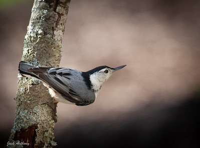White Brested Nuthatch
