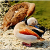 Another Ringed Teal