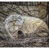 Pallas's Cat at LP Zoo