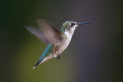 Ruby Throated Hummingbird, Toms River, NJ.