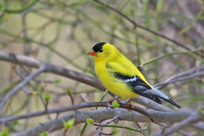 American Goldfinch, Cattus Island, Toms River, NJ.