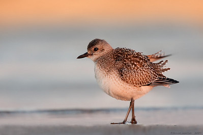 Black-bellied Plover at Sunrise
