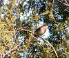Northern Mockingbird, Jenny's Wash, Awatookee, AZ nov 23, 2006 011