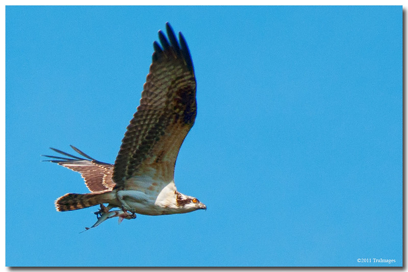 Oct 9<br /> An osprey with a fish