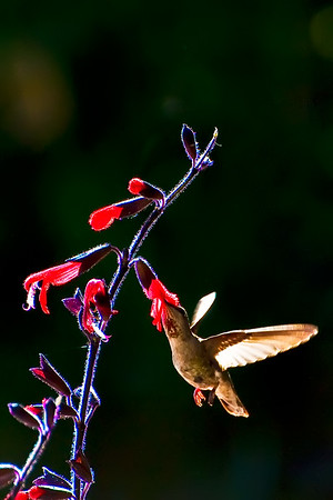 Hummingbird and  Watsonia
