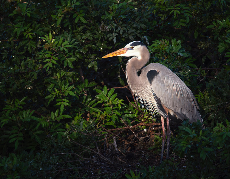 morning heron