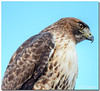 Oct 24<br /> Portrait of an Urban Hawk<br /> <br /> Late upload today due to internet issues...ugghh!<br /> This guy was hanging out downtown near the Delaware river. He was very nonchalant at my presence, so i got a few shots of him. He seems very focused!!<br /> <br /> Thanks for all the comments on my photo yesterday.. keep 'em coming!!!