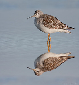 Lesser Yellowlegs Reflected