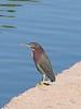 Green Heron, Cesar Chavez Park, Laveen, AZ, jan 11, 2016 144