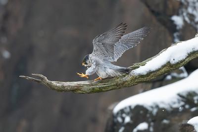 #1361 Peregrine Falcon