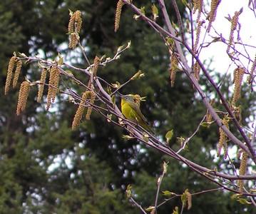 nashville warbler, RR Swamp, Saranac Lake,  NY, may23, 2005c