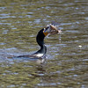 Cormorant with lunch