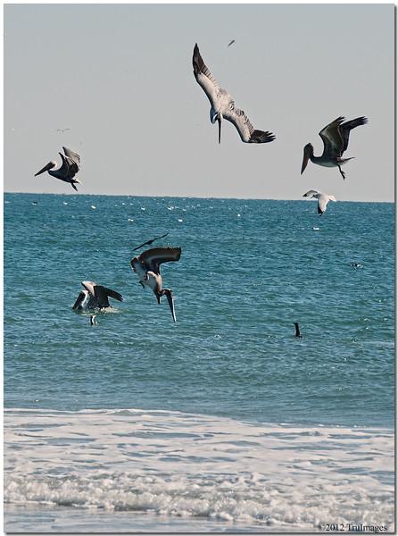 Jan 16<br /> Plunging pelicans