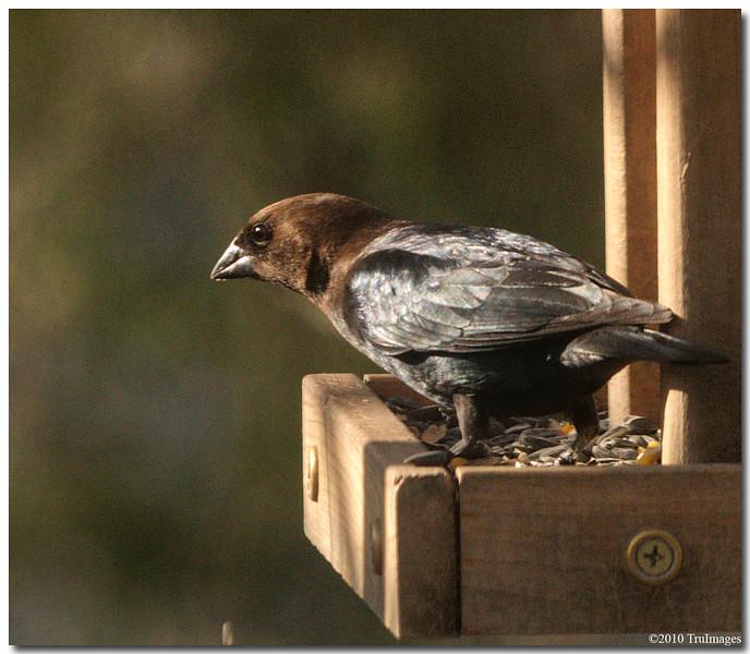 Mar 13<br /> Brown headed cowbird