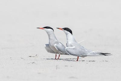 #591 Common Terns