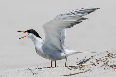 #594 Common Tern