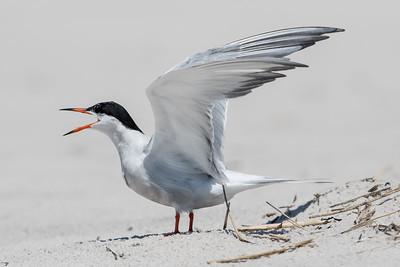 #594 Common Tern