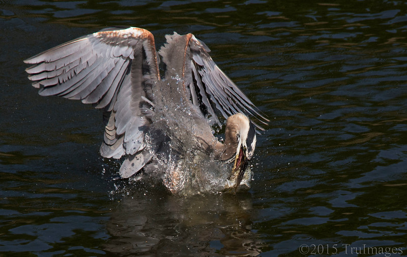 River Fishing, Heron style