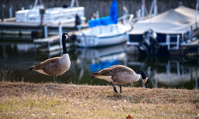 Jan 21<br /> All that i survey is mine!<br /> <br /> A canada goose surveys his surroundings with pride
