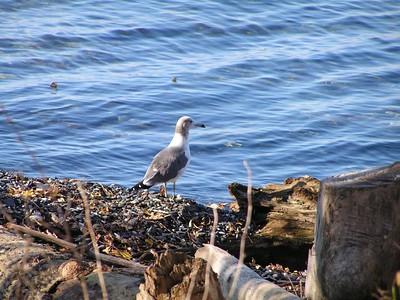 340 1 Black-tailed Gull, Charlotte, VT, oct 30, 2005cs