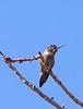 Costa's Hummingbierd, imm  male, Cesar Chavez Park, Laveen, AZ, jan 11, 2016 140