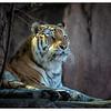 Siberian tiger at LP Zoo