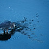Sept 25<br /> Here fishy fishy!<br /> <br /> A great blue heron stirs the waters, searching for fish.