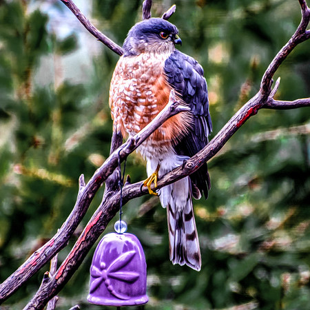 Young Hawk in the Garden
