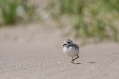 #597 Piling Plover Chick