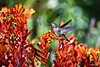 Hummingbird and Red Kangaroo Paw
