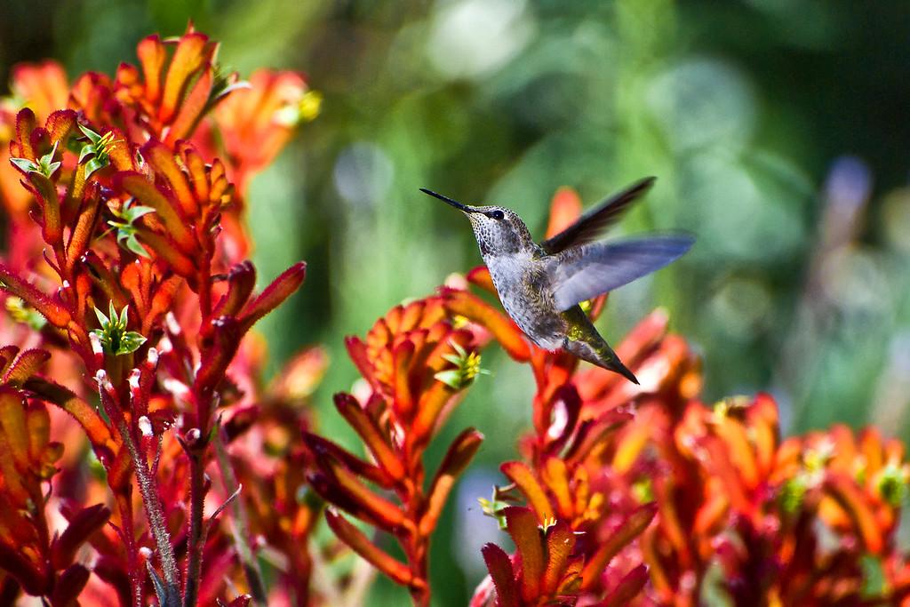 Hummingbird and Red Kangaroo Paw
