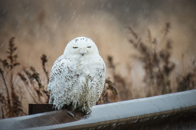 #404 Snowy Owl V