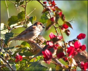 Sparrow in the Red