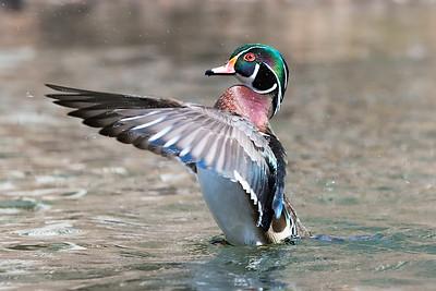 #942 Wood Duck