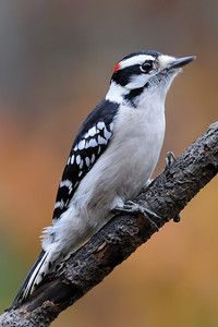 Downy Woodpecker, Toms River, NJ.